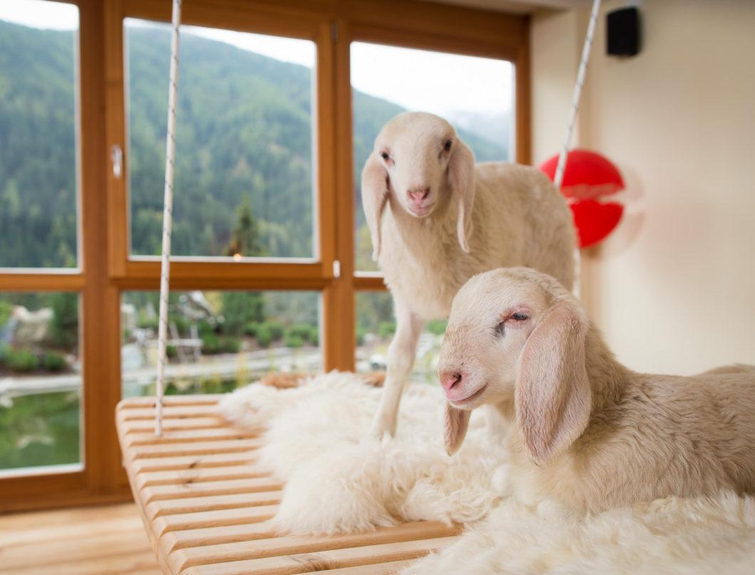 Arosea_Schafe_sheep-animals-relaxation