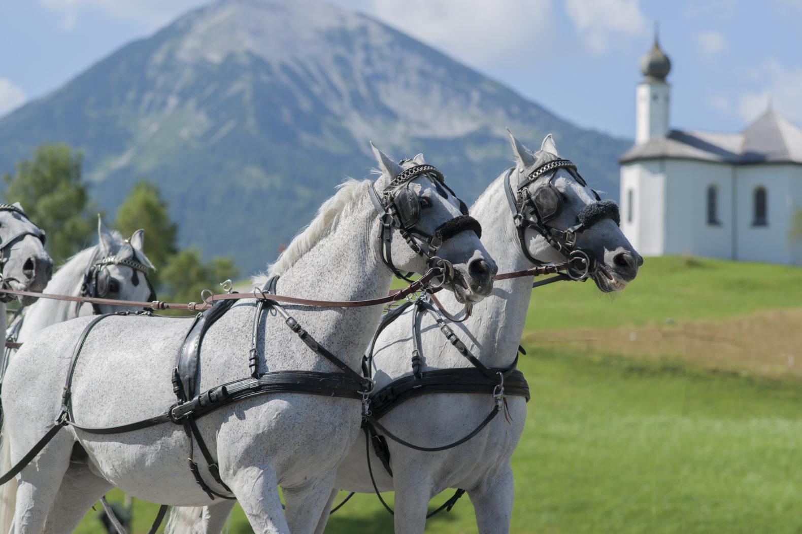 white-horses-carrier-mountain-tour-alps-posthotel-achenkirch-austria-1.jpg